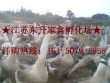 大种鹅苗 8/元一只 江苏东升家禽