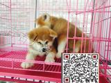 秋田犬多少钱,哪里有秋田犬,百分百纯种日系秋田犬,包纯包健康