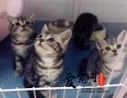 哪里有纯种短毛猫猫舍 上海爱宠网 多只挑选有保障