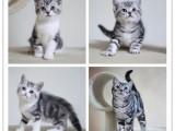 本地出售纯种蓝猫蓝白加菲,美短,金吉拉银渐层