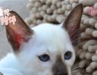 自家纯种暹罗小猫价格面议托勿扰!!!