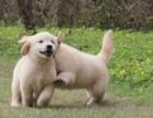 低价大酬宾 纯种金毛幼犬 视频选购 公母都有 全国可发货