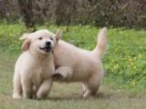 低价出售:赛级金毛,金毛幼犬,金毛犬多少钱一只,买就送狗粮