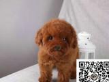 贵宾纯正健康出售-幼犬出售,当地可以上门挑选