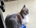 养一只靠谱猫要找靠谱主人,纯家养的正八开脸英短