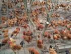 土雞苗,土雞苗價格,生態放養土雞的意義