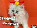 自家繁育金吉拉小宠猫纯种健康签协议