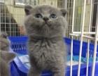 广州买宠物猫 在买蓝猫到哪里好 家养蓝猫