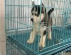 石家庄出售包健康纯种哈士奇幼犬 当面检测犬瘟细小