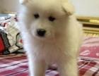 哈尔滨出售萨摩耶 卖澳版萨摩耶幼犬