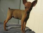 哪里有卖小鹿犬的 小鹿犬一般多少钱 小鹿犬好养吗