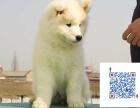 純種微笑天使薩摩耶幼犬賽級犬后代保健康可視頻簽協議