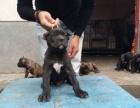高品质的卡斯罗幼犬出售了 疫苗做完 质量三包