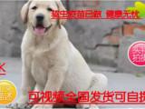 火热直销拉布拉多幼犬便宜出售,诚心想养的联系我