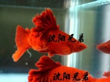 沈阳兄弟观赏鱼 高鰭红箭 孔雀鱼 水草 器材批发