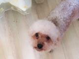 转让两岁泰迪犬