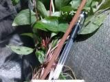 广西重楼种价格 七叶一枝花 新品种