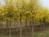 金叶榆树苗价格暴跌6 安全绿色