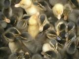 大种鹅苗孵化场供应优质皖西白鹅 泰州杂交鹅 货到付款