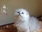 萌太家庭猫舍 金吉拉妹妹三只