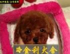 茶杯型泰迪熊中山出售玩具型泰迪熊 火红色泰迪熊小狗