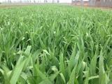 安国市元泰种子经营部(在线咨询)、河北射干种植射干种植和管理