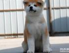 重庆哪里有卖纯种狗狗,重庆什么地方有卖秋田,重庆狗狗