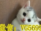 紧急出售美短英短金吉拉布偶猫无毛猫缅因猫