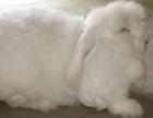 哪里有好看的长毛兔养殖场