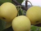 山东梨树苗种植基地丨可温室种植梨树苗品种丨可要采摘梨树苗小苗