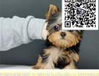 哪里出售约克夏犬 纯种约克夏多少钱