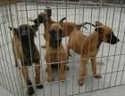 二个月的马犬多少钱一条 马犬价格
