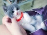 家养美短 英短 虎斑 渐层纯种猫咪