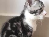 全五粉美短加白 纯种美国短毛猫 起司猫(待售)