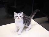 东营Elyse猫舍,给您CFA的品质,后院猫的价格!