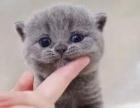 英短蓝猫 美短加白 蓝白 渐层 起司高白猫(包纯种健康)