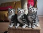 广州白云哪里买猫 家养纯种美短虎斑猫 美短加白 健康保障