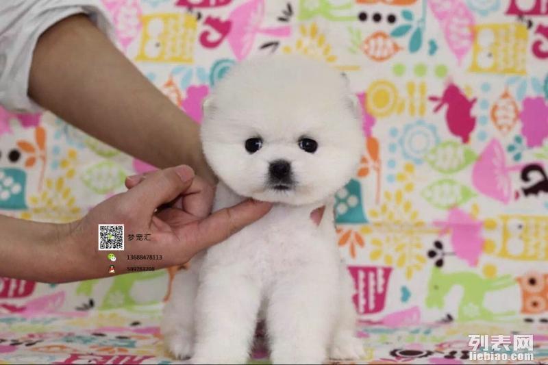 出售哈多利小球体博美 宝宝活泼可爱