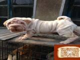沙皮狗好养吗 沙皮饲养需要注意什么 沙皮大约多少钱