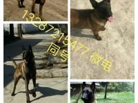 大型犬舍出售大型犬黑狼犬 卡斯罗 杜高精品纯种幼犬