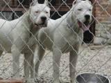 出售家养杜高犬幼犬