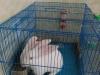 2只宠物兔转让!笼子