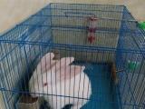 2只宠物兔转让!笼子!饲料!都送!