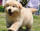金毛犬纯种幼犬出售巡回猎犬导盲犬黄金宠物狗狗赛级