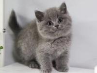本地正规猫舍 英短蓝猫 包纯种 签健康协议 可上门