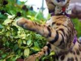 甜美孟加拉豹貓出售疫苗做齊簽協議保證貓咪健康