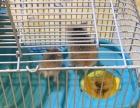 自家仓鼠下的三周大小仓鼠