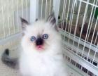 海豹双色布偶猫舍