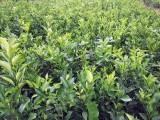 宜宾春见柑桔苗,云南批发柑桔果树苗,哪里有春见耙耙柑桔苗