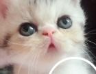 出售三只加菲猫